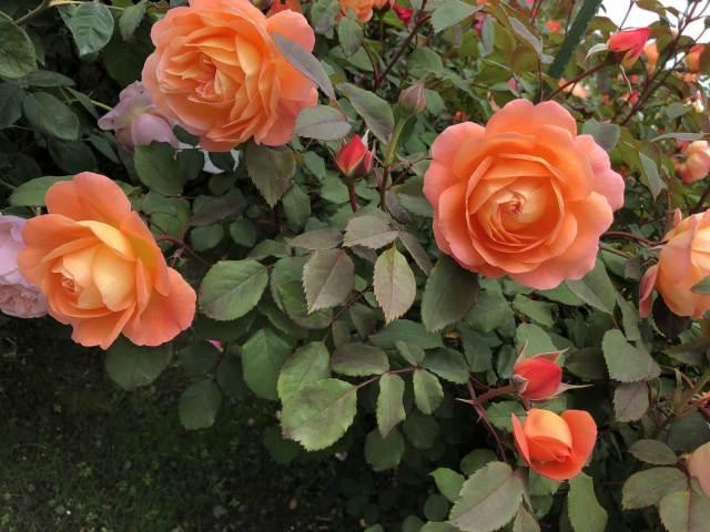 八戸公園ローズガーデンのバラ鑑賞レポート!高速道路と駐車場まとめ